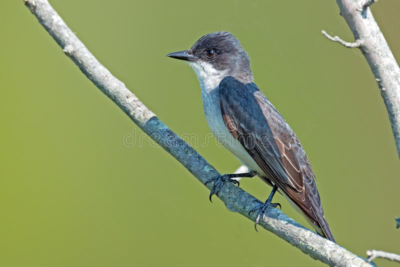 Oostelijke Kingbird royalty-vrije stock foto