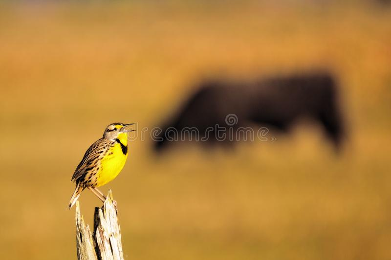 Oostelijke Meadowlark royalty-vrije stock foto's