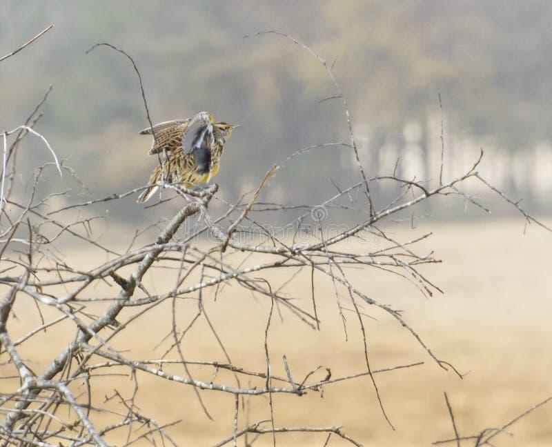 Oostelijke Meadowlark-vogel die zijn vleugels uitrekken stock fotografie