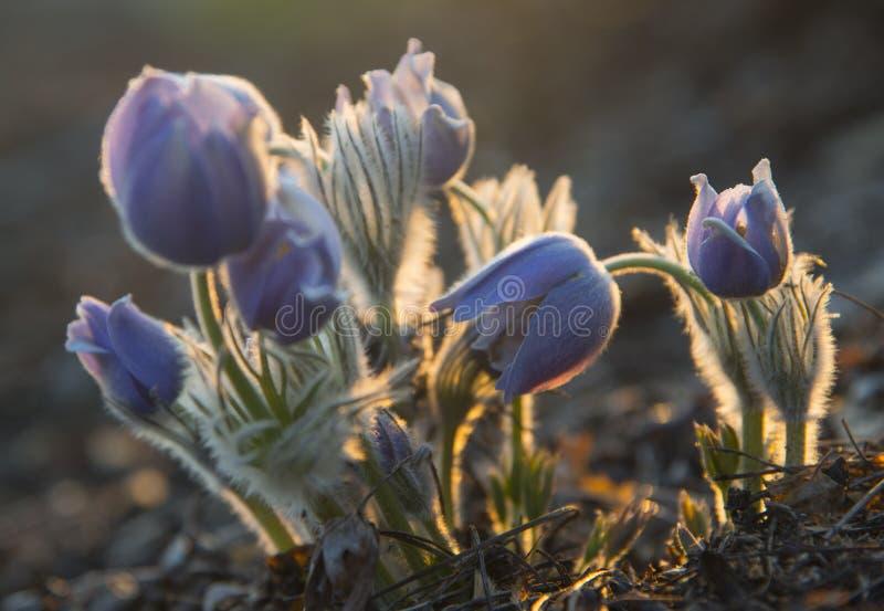 Oostelijke pasqueflower - contre-jour schot royalty-vrije stock afbeelding