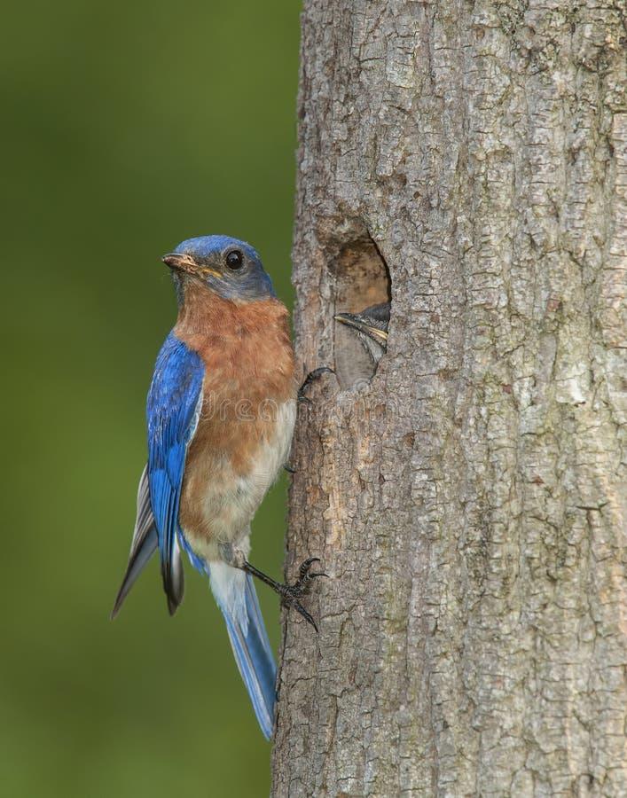 Oostelijke Sialia en baby bij het nest royalty-vrije stock afbeeldingen