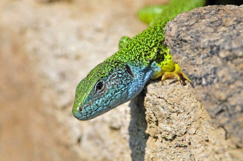 Oostelijke Smaragdhagedis, östlig grön ödla, Lacertaviridis royaltyfri foto