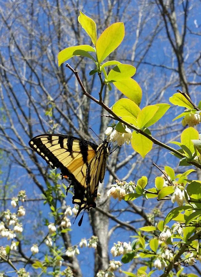 Oostelijke Tiger Swallowtail Papilio-glaucusvlinder op Bosbes Bush royalty-vrije stock afbeelding