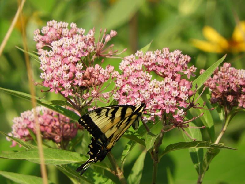 Oostelijke Tiger Swallowtail-vlinder bij Montezuma-Toevluchtsoord stock foto's