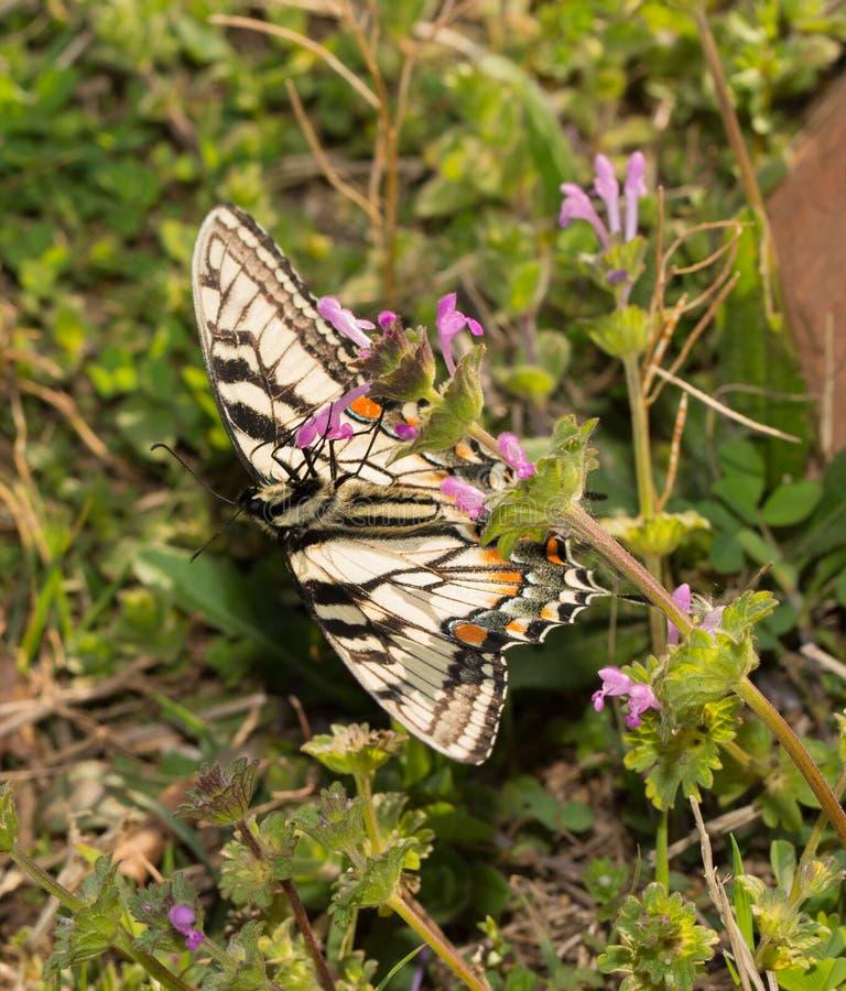 Oostelijke Tiger Swallowtail-vlinder het voeden bovenkant - neer royalty-vrije stock foto's