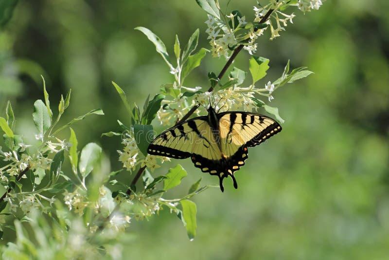 Oostelijke tijger die swallowtail voeden stock afbeeldingen