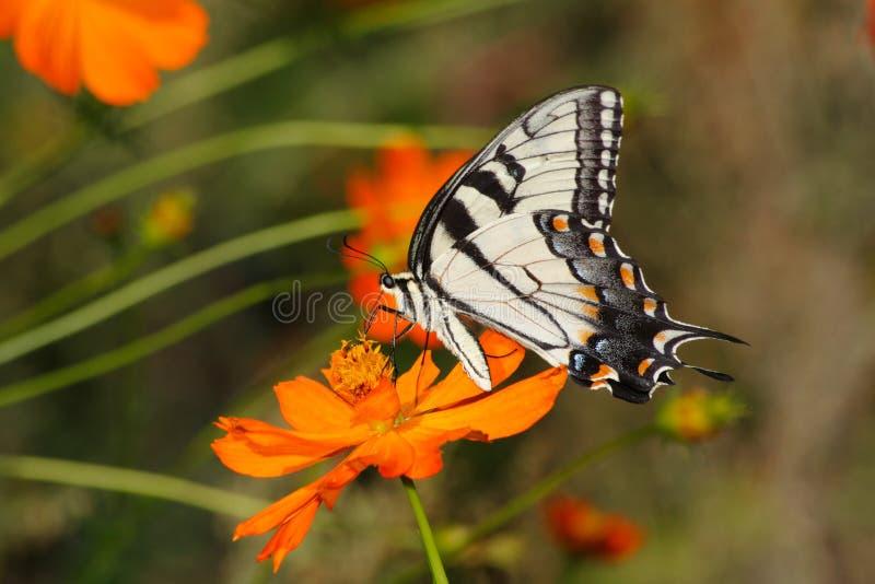 Oostelijke Tijger Swallowtail stock fotografie
