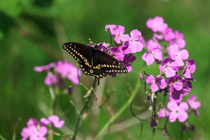 Oostelijke Zwarte vlinder Swallowtail royalty-vrije stock fotografie