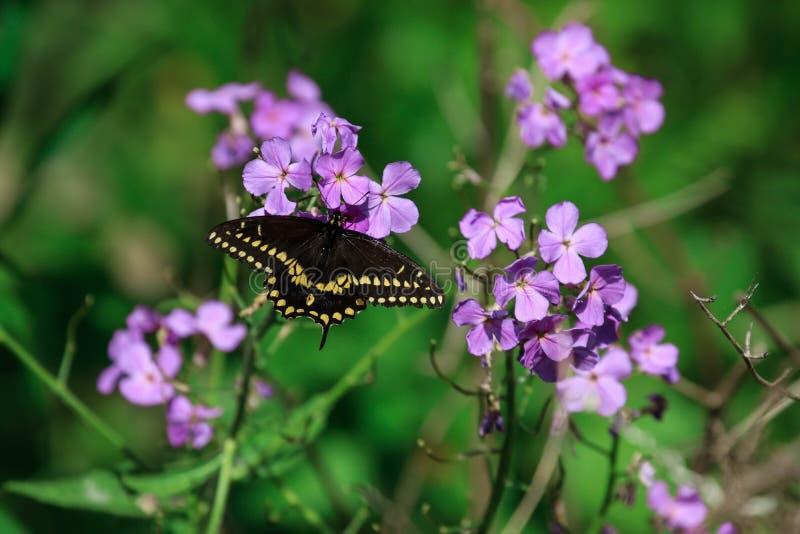 Oostelijke Zwarte vlinder Swallowtail royalty-vrije stock foto's