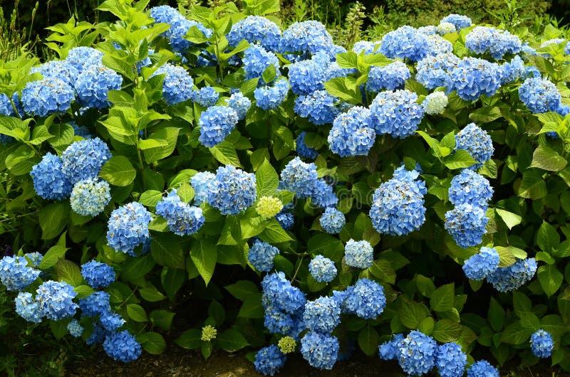 Oostenrijk, Plantkunde, blauwe bloemen stock afbeeldingen