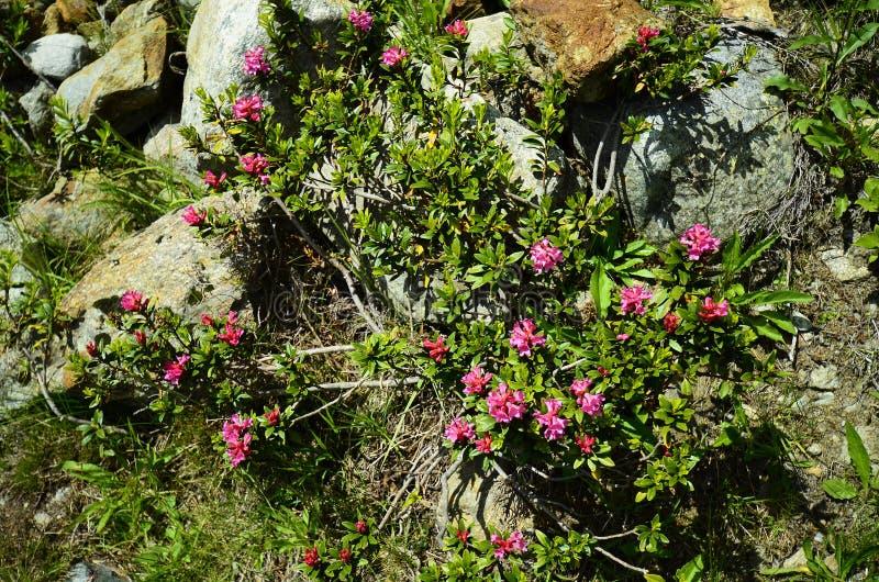 Oostenrijk, Tirol, Kaunertal, Plantkunde royalty-vrije stock fotografie