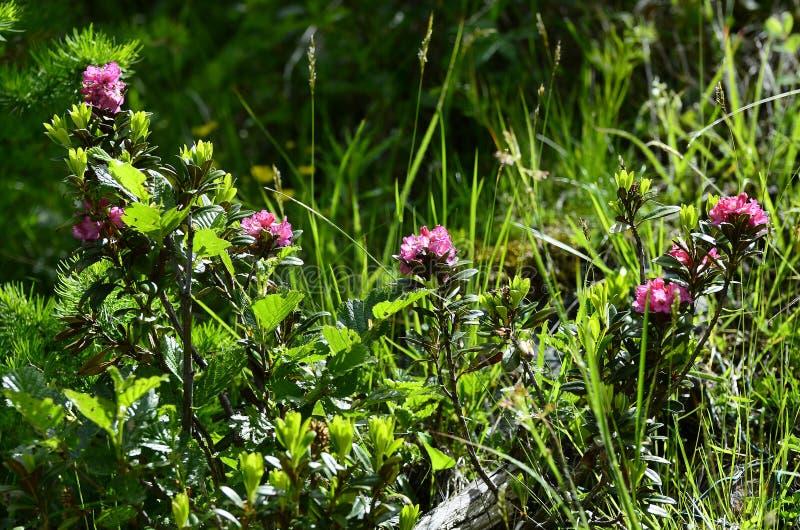 Oostenrijk, Tirol, Plantkunde stock afbeelding