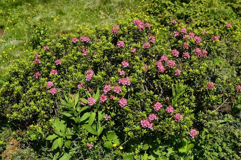 Oostenrijk, Tirol, Plantkunde stock foto's