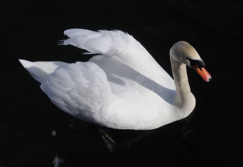 Oostenrijk. Zell--zie. Trotse witte zwaan op zwarte stock foto's