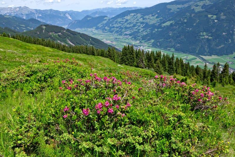 Download Oostenrijks Berglandschap Met Alpiene Rozen In De Voorgrond Zillertalvallei, De Alpiene Weg Van Zillertal, Oostenrijk, Tirol Stock Foto - Afbeelding bestaande uit toerisme, alpien: 113327354