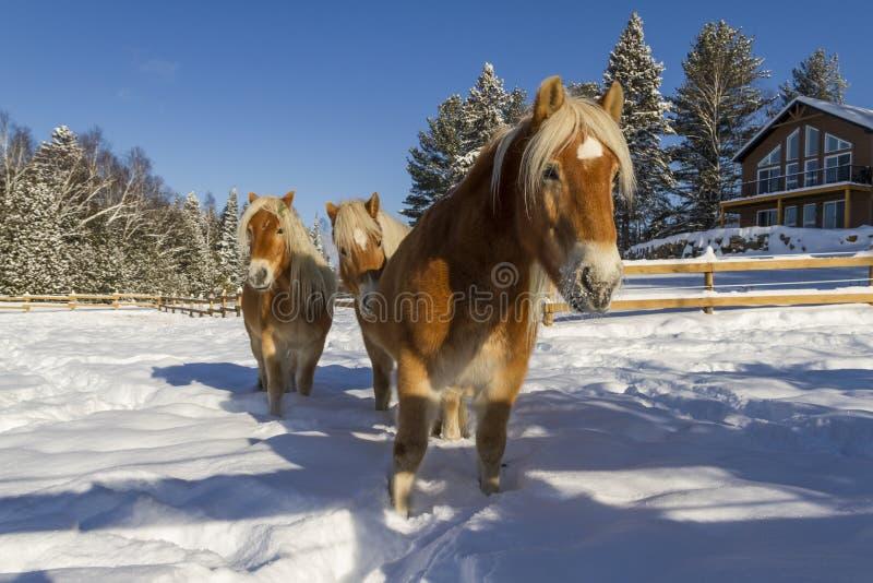 Oostenrijkse Haflinger-Paarden royalty-vrije stock afbeelding