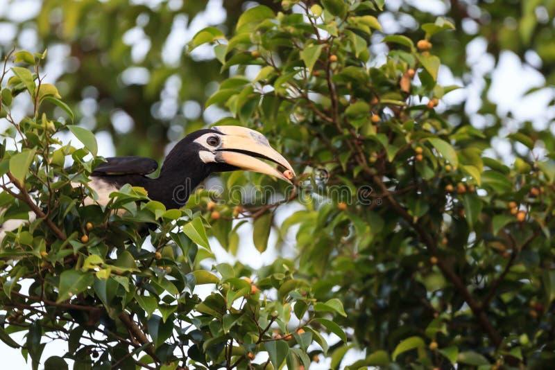 Oosterse Bonte Hornbill royalty-vrije stock fotografie