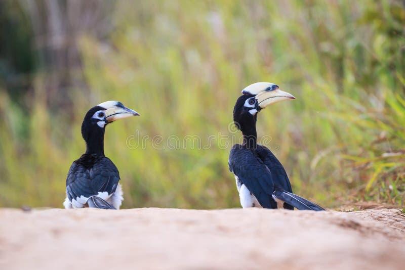Oosterse Bonte Hornbill stock afbeeldingen