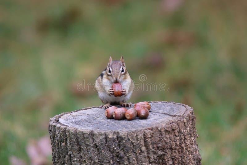 Oosterse Chipmunk in Fall Finding Acorns om weg te gaan voor de winter royalty-vrije stock fotografie