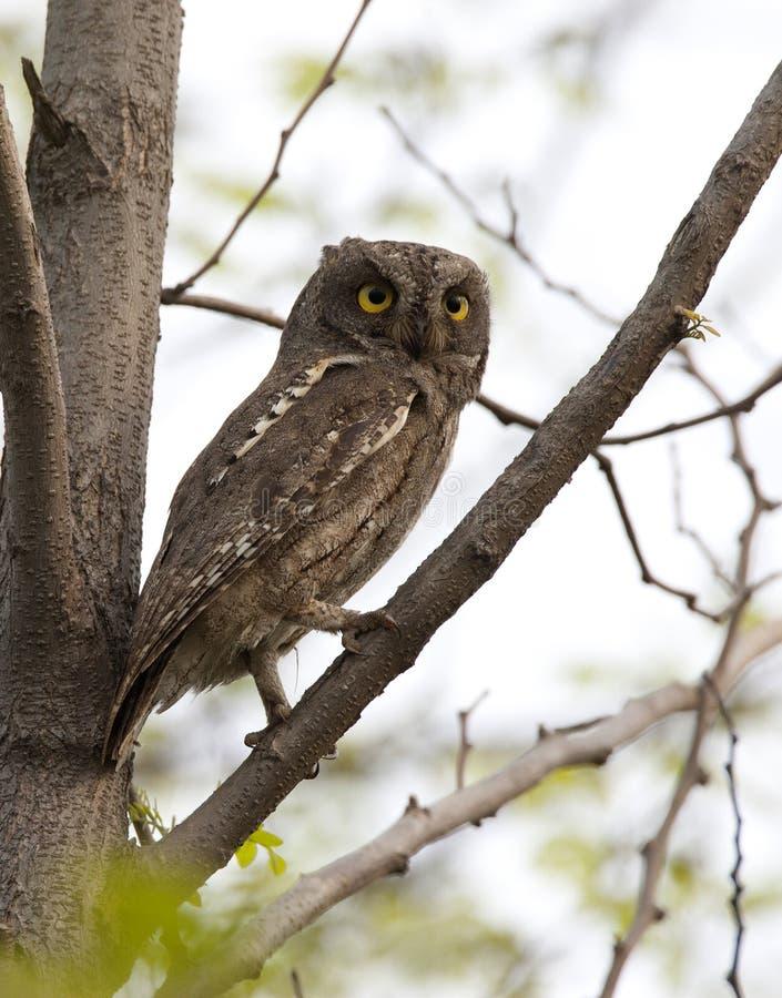 Oosterse Dwergooruil, Oriental Scops-Owl, Scops sunia royalty free stock photos