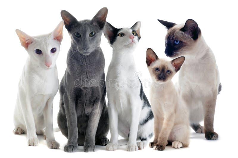 Oosterse en siamese katten royalty-vrije stock foto