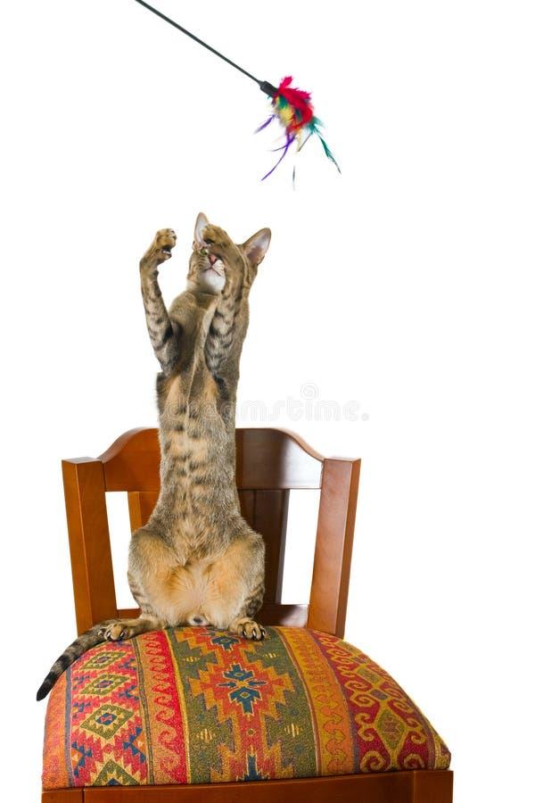 Oosterse kattenzitting op stoel stock fotografie