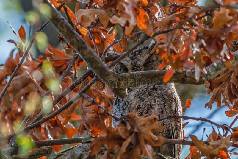 Oosterse Screech Owl verborgen stock fotografie