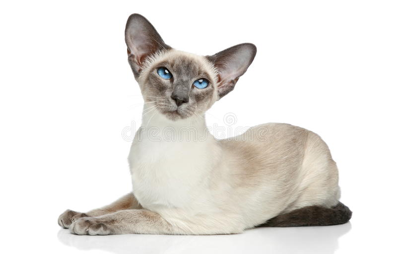 Oosterse Siamese kat royalty-vrije stock foto's