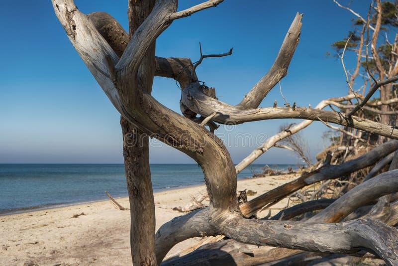 Oostzeekust op Darss stock fotografie