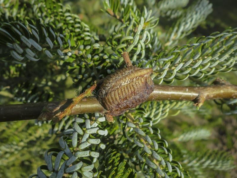 Ootheca de la mante de prière attachée à une branche d'arbre Plan rapproché des oeufs de mante dans le cocon photo stock