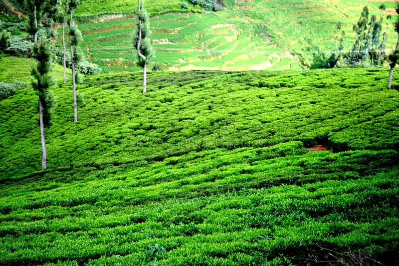 Ooty tea estate stock images
