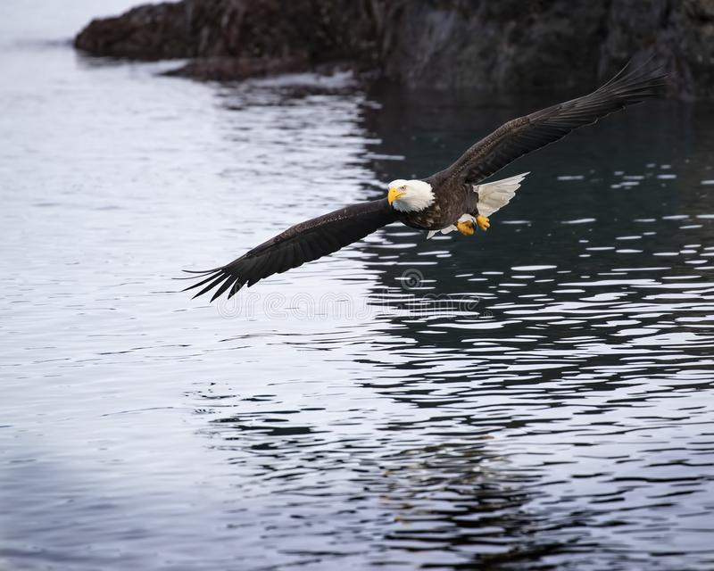 Opérations bancaires adultes d'Eagle chauve au-dessus de baie de Katchemak image stock