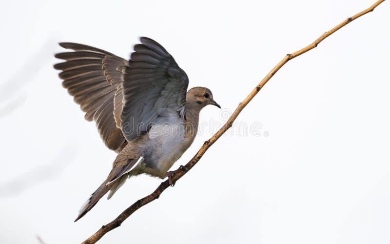 Opłakiwać gołąbki lądowanie na gałąź obraz royalty free