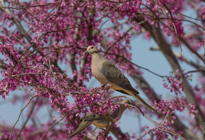 Opłakiwać gołąbki w kwiatonośnym drzewie obraz stock
