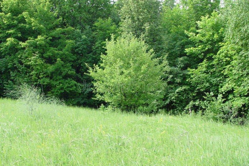 Op de bosopen plek in de vroege zomer royalty-vrije stock foto's