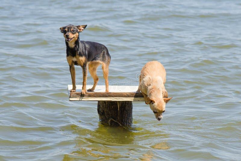 Op de lijst aangaande rivier twee honden - Russische stuk speelgoed terriër en chihuahua die in het water wil springen stock fotografie