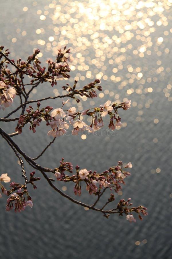 Op de oppervlakte van kersenbloesems royalty-vrije stock foto's