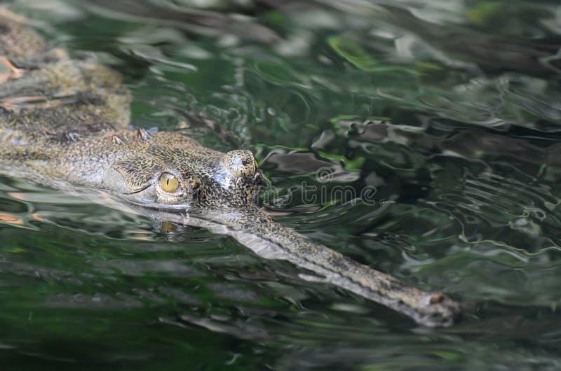 Op Dicht Gezicht van een Gavial-Krokodil in Water stock foto's