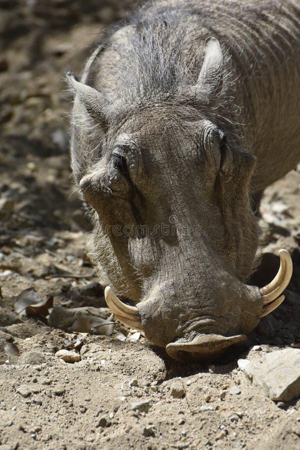 Op Dicht onderzoek het Gezicht van een Wrattenzwijn royalty-vrije stock fotografie