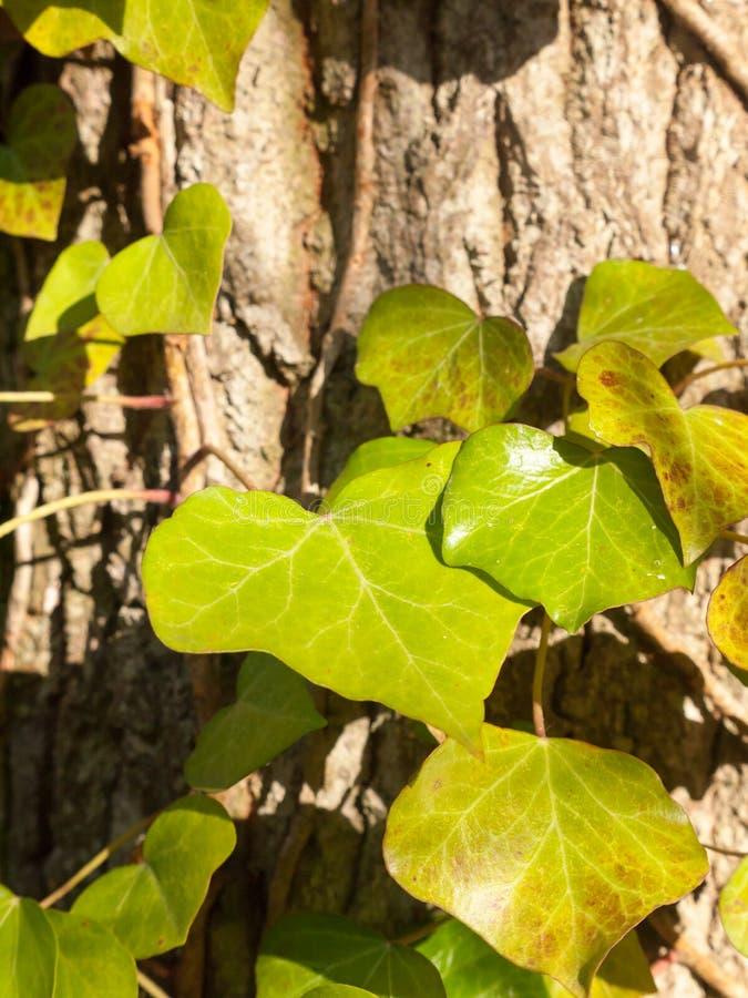 Op dichte ooit groene ivoorbladeren die op boomboomstam groeien royalty-vrije stock foto's