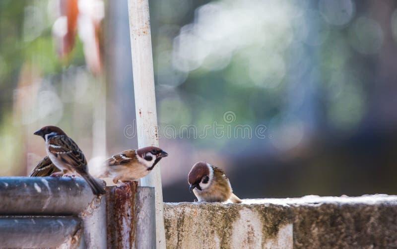 Op een duidelijke die dagpasser montanusvogels op de omheining samen worden neergestreken Welke als achtergrond royalty-vrije stock afbeeldingen