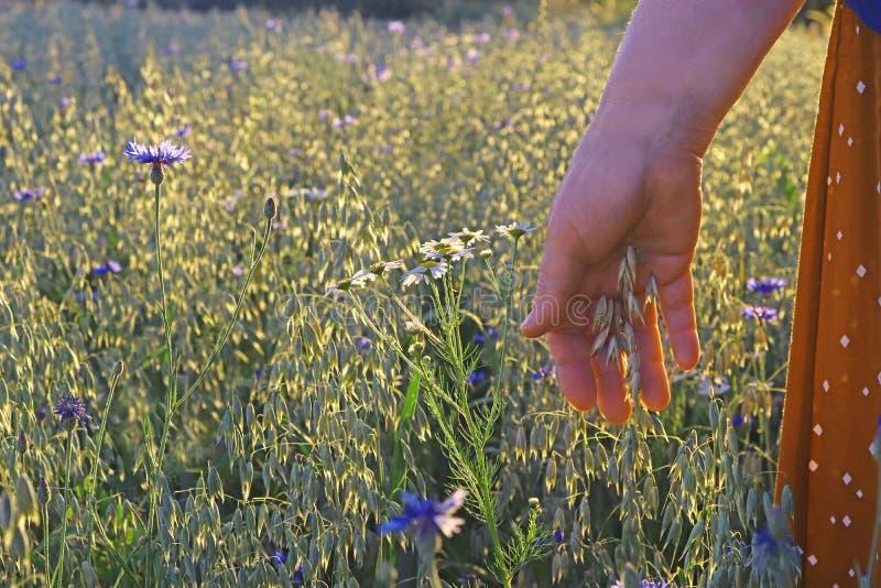 Op een havergebied, vrouwelijke hand wat betreft een korrelinstallatie stock afbeeldingen
