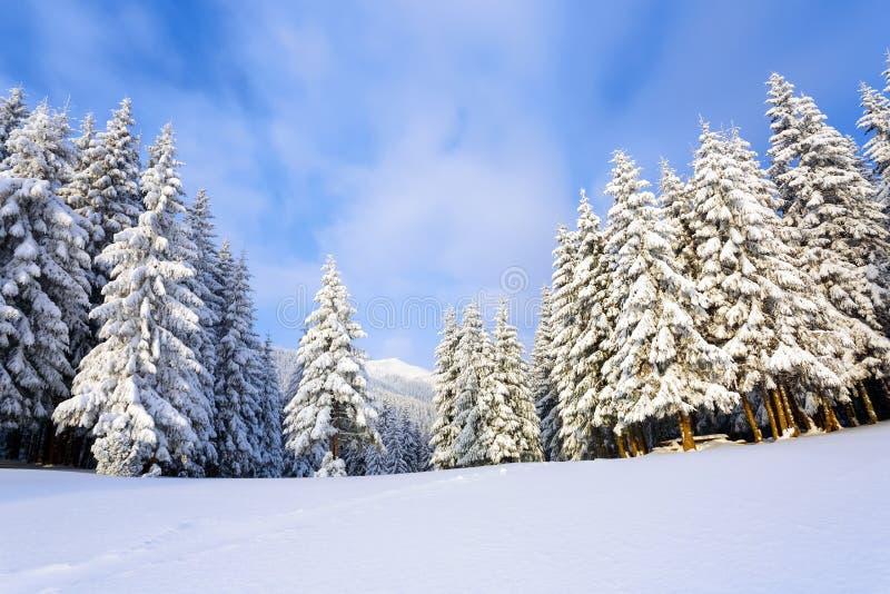 Op een ijzige mooie dag onder hooggebergte en pieken zijn magische die bomen met witte sneeuw tegen het de winterlandschap worden stock fotografie