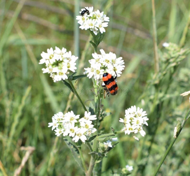 Op een witte bloem verzamelen de insecten zich voor lunch royalty-vrije stock afbeelding