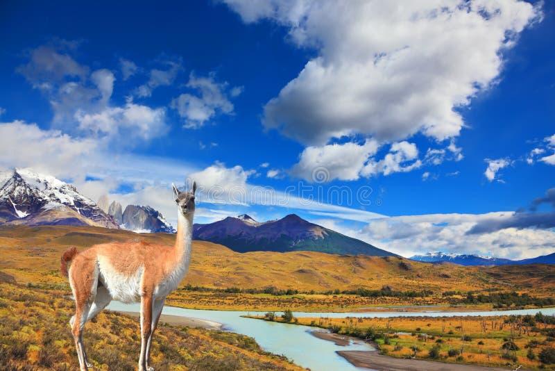 Op guanaco van grastribunes - Lama stock foto's