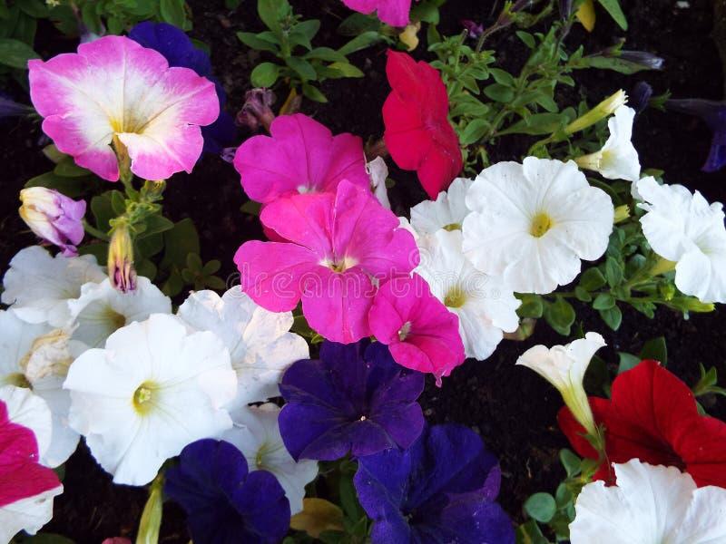 Op het bloembed in de de bloemenbloei van de stadstuin prachtig stock afbeelding
