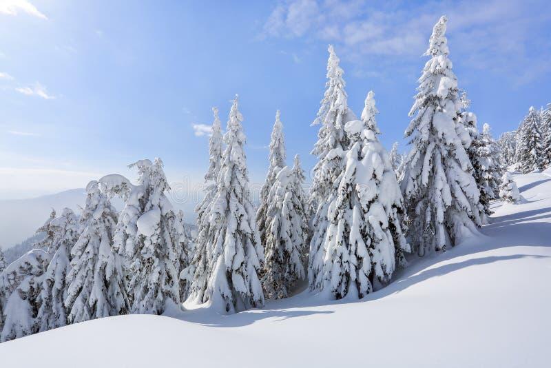 Op het brede gazon zijn er vele sparren die zich onder de sneeuw op de ijzige de winterdag bevinden Het spel van licht en schaduw stock foto