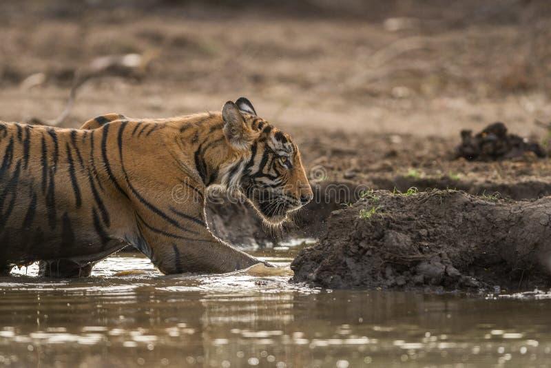 Op het mooie de welp van de avonda mannelijke tijger koelen weg in waterhole bij het Nationale Park van Ranthambore royalty-vrije stock fotografie