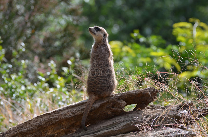 Op het Sluiten met een Meerkat-Schildwacht royalty-vrije stock foto