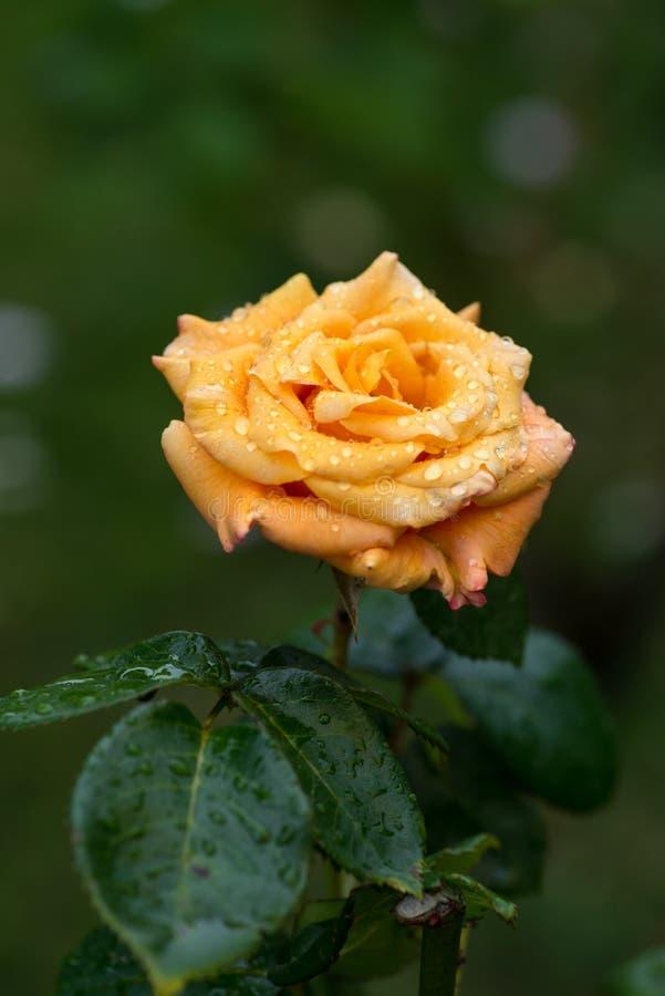 OP het sluiten op geel/oranje nam met de dalingen van de ochtenddauw in tuin toe stock afbeelding